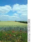 Getreidefeld, getreide, feld, felder, weizen, weizenfeld, getreidefelder... Стоковое фото, фотограф Zoonar.com/Volker Rauch / easy Fotostock / Фотобанк Лори