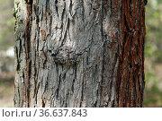 Chinesische, Birne, Pyrus, ussuriensis, Стоковое фото, фотограф Zoonar.com/Manfred Ruckszio / age Fotostock / Фотобанк Лори
