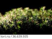 Oder Gewöhnliches Widertonmoos. Стоковое фото, фотограф Zoonar.com/Martina Berg / easy Fotostock / Фотобанк Лори