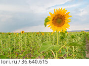 A Sunflower stands out above the rest on the farm. Стоковое фото, фотограф Zoonar.com/Christopher Boswell / easy Fotostock / Фотобанк Лори