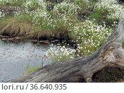 Wollgras, eriophorum, Wasserpflanzen. Стоковое фото, фотограф Zoonar.com/Manfred Ruckszio / age Fotostock / Фотобанк Лори