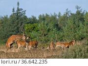 Rotwild eine gekruemmte Koerperhaltung von Hirschkuehen wird von Hirschen... Стоковое фото, фотограф Zoonar.com/Helge Schulz / easy Fotostock / Фотобанк Лори