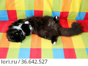 Lazy black cat laying on colored sofa. Black and white cat laying... Стоковое фото, фотограф Zoonar.com/Alexmak7 / easy Fotostock / Фотобанк Лори