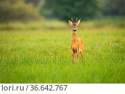 Young roe deer, capreolus capreolus, looking to the camera on meadow... Стоковое фото, фотограф Zoonar.com/Jakub Mrocek / easy Fotostock / Фотобанк Лори