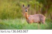 Roe deer, capreolus capreolus, doe female in spring standing on a... Стоковое фото, фотограф Zoonar.com/Jakub Mrocek / easy Fotostock / Фотобанк Лори