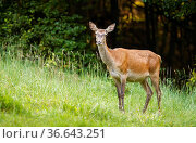 Surprised red deer, cervus elaphus, hind standing on a green meadow... Стоковое фото, фотограф Zoonar.com/Jakub Mrocek / easy Fotostock / Фотобанк Лори
