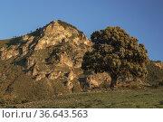 Holm oak in Sierra Prieta de Casarabonela, Malaga. Andalusia, Spain. Стоковое фото, фотограф Jesús Noguera / easy Fotostock / Фотобанк Лори
