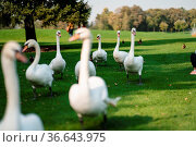 White swans resting on the green grass in the park. Beautiful swans... Стоковое фото, фотограф Zoonar.com/Oleksii Hrecheniuk / easy Fotostock / Фотобанк Лори
