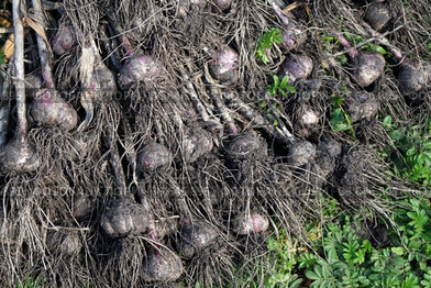 Чеснок (лат. Állium satívum), только что извлеченный из земли, лежит на земле во время сбора урожая.