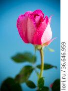 pink beautiful summer roses isolated on blue. Стоковое фото, фотограф Peredniankina / Фотобанк Лори
