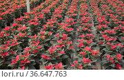 Plantation of flowers poinsettia in greenhouse. Стоковое видео, видеограф Яков Филимонов / Фотобанк Лори