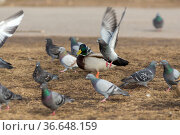 Flock of pigeons and a duck. Стоковое фото, фотограф Argument / Фотобанк Лори