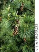 Kiefer, Pinus schwerinii, Barmstedt. Стоковое фото, фотограф Zoonar.com/Manfred Ruckszio / age Fotostock / Фотобанк Лори