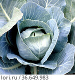Weisskohl, Brassica oleracea var capitata, Weisskraut, Стоковое фото, фотограф Zoonar.com/Manfred Ruckszio / age Fotostock / Фотобанк Лори