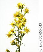 Echte Goldrute, solidago virgaurea, Heilpflanzen, Стоковое фото, фотограф Zoonar.com/Manfred Ruckszio / age Fotostock / Фотобанк Лори