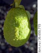 Zitronat-Zitrone, Citrus medica, Стоковое фото, фотограф Zoonar.com/Manfred Ruckszio / age Fotostock / Фотобанк Лори