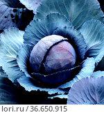 Rotkohl, Brassica oleracea var. Capitata, Rotkraut, Blaukraut, Стоковое фото, фотограф Zoonar.com/Manfred Ruckszio / age Fotostock / Фотобанк Лори