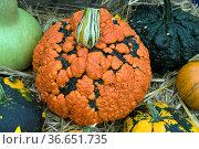 Zierkuerbis Warzigemischung, Стоковое фото, фотограф Zoonar.com/Manfred Ruckszio / age Fotostock / Фотобанк Лори