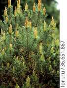 Kiefer, Pinus sylvestris, Beuvronensis. Стоковое фото, фотограф Zoonar.com/Manfred Ruckszio / age Fotostock / Фотобанк Лори