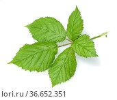 Brombeerblatt, Rubus fructicosa, Blatt, Heilpflanzen, Fruechte. Стоковое фото, фотограф Zoonar.com/Manfred Ruckszio / age Fotostock / Фотобанк Лори