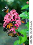 Monarch, Monarchfalter, Danaus plexippus, wandert von Nordamerika... Стоковое фото, фотограф Zoonar.com/Manfred Ruckszio / age Fotostock / Фотобанк Лори