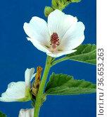Eibisch, Althaea Officinalis, Althaea, Heilpflanzen, Стоковое фото, фотограф Zoonar.com/Manfred Ruckszio / age Fotostock / Фотобанк Лори