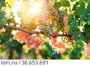 Green vine grapes on a farm, evening sun, Tuscany. Стоковое фото, фотограф Zoonar.com/Patrick Daxenbichler / easy Fotostock / Фотобанк Лори