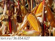 Maiskolben - corn 06. Стоковое фото, фотограф Zoonar.com/Liane Matrisch / easy Fotostock / Фотобанк Лори