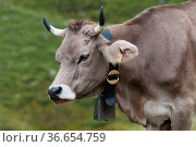 Kuh auf der Alp, Averser Tal, Graubünden, Schweiz   Cow on the Alp... Стоковое фото, фотограф Zoonar.com/Günter Lenz / age Fotostock / Фотобанк Лори