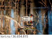 Male of European teal (Anas crecca) in very luxurious bright plumage... Стоковое фото, фотограф Zoonar.com/Maximilian Buzun / easy Fotostock / Фотобанк Лори