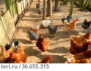 Hühnerstall, huhn, hühner, hahn, gockel, hühnerhof, landwirtschaft... Стоковое фото, фотограф Zoonar.com/Volker Rauch / easy Fotostock / Фотобанк Лори