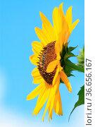 Sonnenblume vor blauem Himmel mit Wolken, sunflower with blue background... Стоковое фото, фотограф Zoonar.com/Jens Schmitz / easy Fotostock / Фотобанк Лори