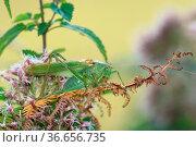 Grünes Heupferd sitzt auf Farn, grasshopper sitting on fern, Tettigonia... Стоковое фото, фотограф Zoonar.com/Jens Schmitz / easy Fotostock / Фотобанк Лори