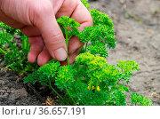 Petersilie ernten- parsley harvesting 01. Стоковое фото, фотограф Zoonar.com/LIANEM / easy Fotostock / Фотобанк Лори