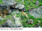 West Caucasian tur (Capra caucasica dinniki, young male, buckling... Стоковое фото, фотограф Zoonar.com/Maximilian Buzun / easy Fotostock / Фотобанк Лори