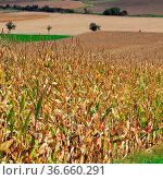 Maisfeld im Herbst - corn field in fall 04. Стоковое фото, фотограф Zoonar.com/Liane Matrisch / easy Fotostock / Фотобанк Лори