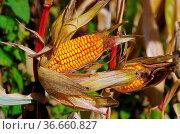 Maiskolben - corn 01. Стоковое фото, фотограф Zoonar.com/Liane Matrisch / easy Fotostock / Фотобанк Лори