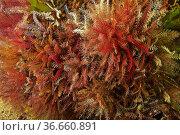 Rosy feather star (Antedon bifida). Eastern Atlantic. Galicia. Spain... Стоковое фото, фотограф Marevision / age Fotostock / Фотобанк Лори