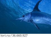 Swordfish (Xiphias gladius). Offshore. Pelagic. Eastern Atlantic. ... Стоковое фото, фотограф Marevision / age Fotostock / Фотобанк Лори