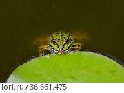 Wasserfrosch sitzt auf Seerosenblatt, im Gartenteich, Teichfrosch... Стоковое фото, фотограф Zoonar.com/Bildagentur Geduldig / easy Fotostock / Фотобанк Лори