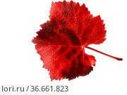 Buntes Weinlaub. Стоковое фото, фотограф Zoonar.com/Rüdiger Rebmann / easy Fotostock / Фотобанк Лори