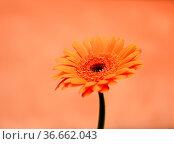Gerbera, blume, blüte,orange, bunt, gartenblume, zierpflanze, pflanze... Стоковое фото, фотограф Zoonar.com/Volker Rauch / easy Fotostock / Фотобанк Лори