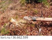 Vom Biber gefällter Baum - Beaver tree. Стоковое фото, фотограф Zoonar.com/Robert Biedermann / easy Fotostock / Фотобанк Лори