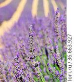 Lavendelfeld - lavender field 89. Стоковое фото, фотограф Zoonar.com/Liane Matrisch / easy Fotostock / Фотобанк Лори