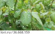 Влажные зеленые листья розы после дождя. Стоковое видео, видеограф Александр Романов / Фотобанк Лори