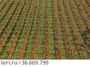 Weinfelder mit herbstlichen Laub von oben gesehen. Стоковое фото, фотограф Zoonar.com/Eder Christa / age Fotostock / Фотобанк Лори