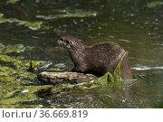 Europäischer Fischotter (Lutra lutra) | European Fishotter (Lutra... Стоковое фото, фотограф Zoonar.com/GUENTER LENZ / age Fotostock / Фотобанк Лори