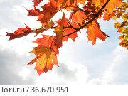Ahornblätter, Herbst, blatt, blätter, ahornblatt, ahorn, laub, herbstlaub... Стоковое фото, фотограф Zoonar.com/Volker Rauch / easy Fotostock / Фотобанк Лори
