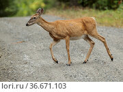 A white tailed deer crosses a gravel road near Hauser, Idaho. Стоковое фото, фотограф Zoonar.com/Gregory Johnston Photography / easy Fotostock / Фотобанк Лори