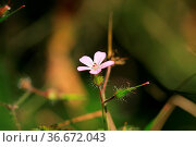 Stinkender Storchenschnabel Blüte mit Knospe, stink storkbeak bloom... Стоковое фото, фотограф Zoonar.com/Jens Schmitz / easy Fotostock / Фотобанк Лори